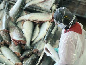 Ridícula multa a compañía Salmones de Chile Alimentos por vender harina de pescado proveniente de pesca ilegal